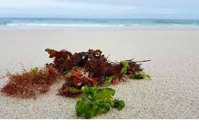 Alge, morska trava